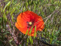 在草中的猩红色鸦片 免版税库存照片