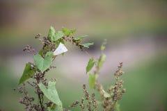 在草中的白色野生植物花在领域 库存照片