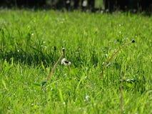 在草中的蒲公英 库存图片