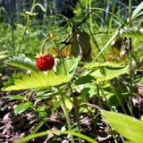 在草中的野草莓 免版税库存图片