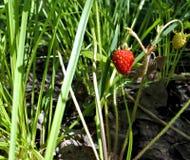 在草中的野草莓 免版税库存照片