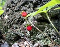 在草中的野草莓 库存照片