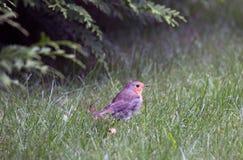 在草中的鸟知更鸟在森林里 库存图片