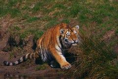 在草之后隐藏的西伯利亚老虎 免版税库存图片
