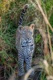 在草之间的幼小豹子 免版税库存照片