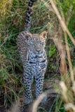 在草之间的幼小豹子 库存照片