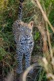 在草之间的幼小豹子 免版税图库摄影