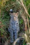 在草之间的幼小豹子 库存图片