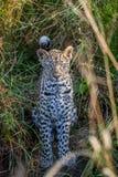 在草之间的幼小豹子 免版税库存图片