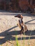 在草之间的非洲企鹅画象 库存照片