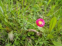 在草之间的桃红色雏菊 免版税库存照片