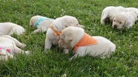 在草休息的小拉布拉多猎犬小狗 影视素材