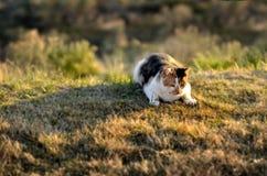在草偷偷靠近的狩猎观看的宠物猫 免版税库存图片