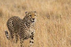 在草关闭的猎豹 库存照片