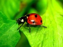 在草关闭的瓢虫 免版税图库摄影