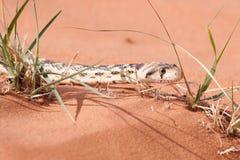 在草刀片之间的幼小穴蛇在红色沙子 库存图片