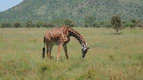 在草原吃草的野生长颈鹿延长它的前面腿对边 影视素材