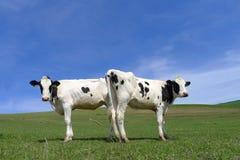 在草原的两头母牛 图库摄影