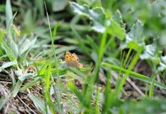 在草原的小铜蝴蝶由河 库存照片