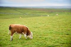 在草原的幼小公牛 库存照片