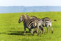 在草原的斑马在非洲 免版税图库摄影