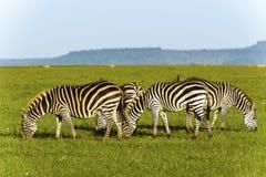 在草原的斑马在非洲 免版税库存图片