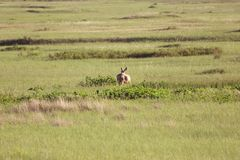 在草原的母鹿 免版税库存照片