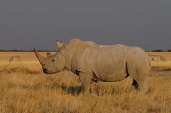 在草原的白色犀牛 库存照片