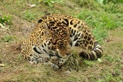 在草原的睡觉豹子 免版税库存图片