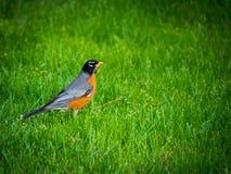 在草原的美国知更鸟 库存照片