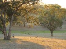 在草原的袋鼠在阳光下 库存照片