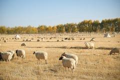 在草原的绵羊 免版税图库摄影