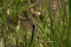在草原看的共同的Thorntail蜻蜓Ceratogomphus pictus 免版税库存照片