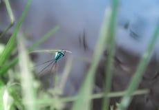 在草叶在绿色和蓝色背景的上一只蓝色蜻蜓坐 库存图片