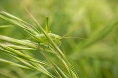 在草叶子的支持盾的Katydid 免版税库存照片