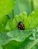 在草叶的一只甲虫 免版税库存照片