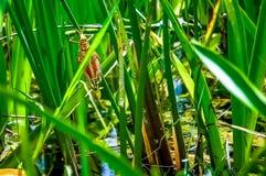 在草叶的一只蚂蚱 库存照片