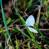 在草叶的两只微小的白色蝴蝶 免版税库存照片