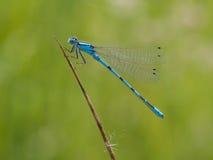 在草叶的天蓝色的蜻蜓 图库摄影