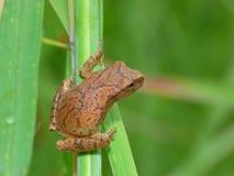 在草叶的微小的青蛙 免版税库存照片