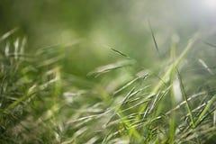 在草叶的早晨光 免版税库存图片
