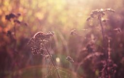 在草叶的毛虫在逆太阳的光芒的在日落期间的 自然 您的桌面的屏幕保护程序 免版税库存图片