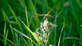 在草叶的蜻蜓 股票视频