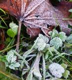 在草和一棵槭树的一片干燥叶子的树冰在早晨以后为 库存图片
