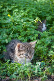 在草和三叶草的逗人喜爱的幼小猫 免版税图库摄影