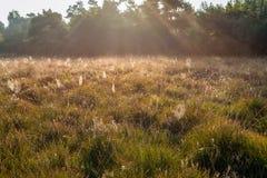 在草和开花的荒地之间的潮湿蜘蛛网 库存图片