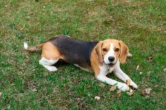 在草和微笑的逗人喜爱的小猎犬狗 图库摄影