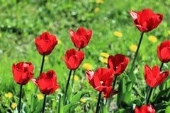 在草和蒲公英包围的春天草坪的郁金香 免版税库存照片
