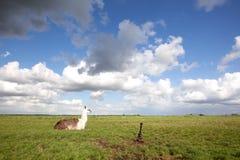在草和蓝天的骆马 库存照片