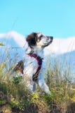 在草和高山的白色和黑模糊的狗在背景,自由旅行概念 免版税库存图片